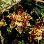 Odontoglossum sceptrum en el bosque. LEM