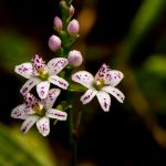 Epidendrum fimbriatum. LEM