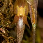 Pleurothallis sp. Tatiana