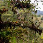 Rama con epífitas