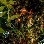 Odontoglossum sceptrum en el bosque