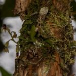 Stellilabium andinum planta en el bosque